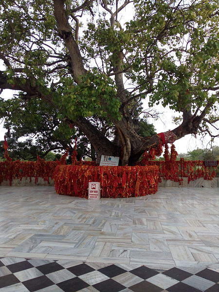 Peepal Tree at temple compound in India