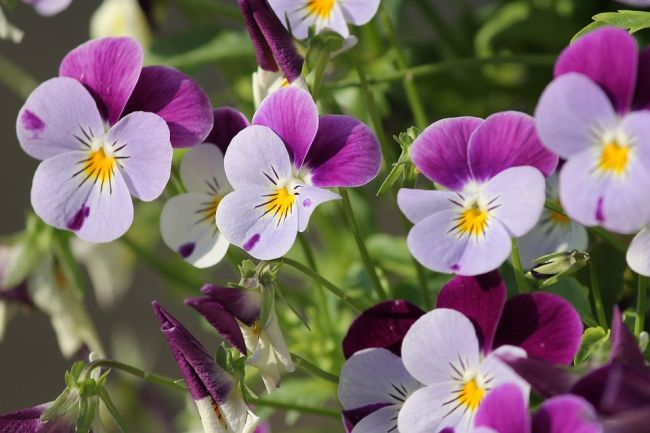 Colorful Pansy flower info in Hindi