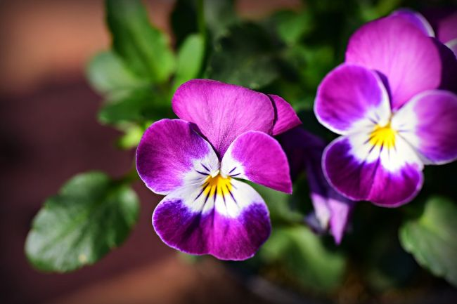 Beau Pansy Flower Information In Hindi Spot And Stripe