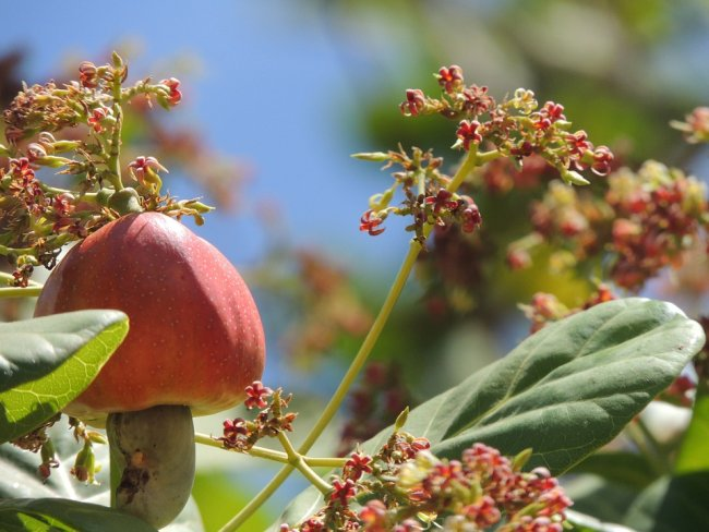 Cashew flower and fruit