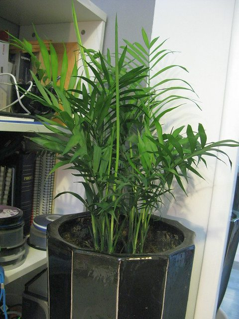 Areca palm an indoor plant