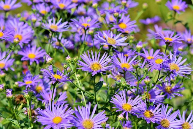 Aster plant and flower in Garden