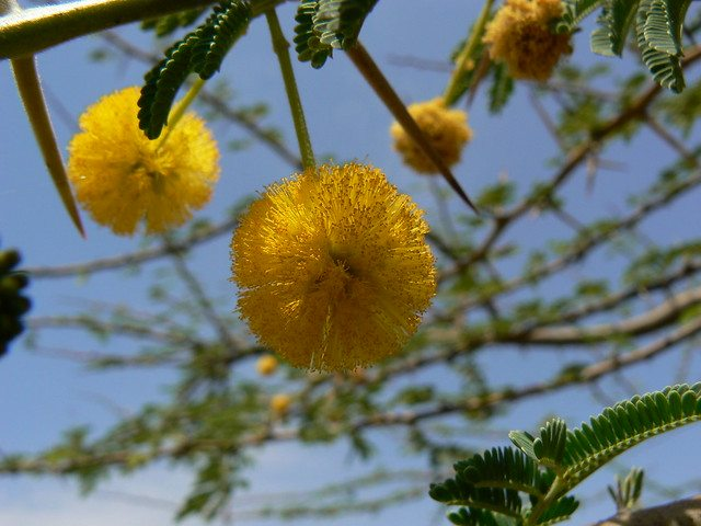 Flower of Babul Tree