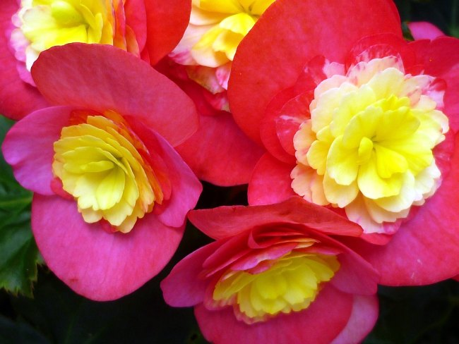 Beautiful Begonia flower in Hindi