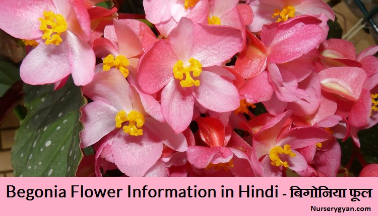 Begonia Flower Information in Hindi
