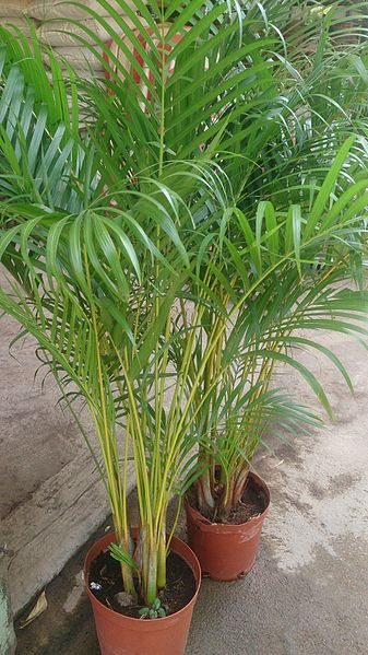 How to take care Areca Plant