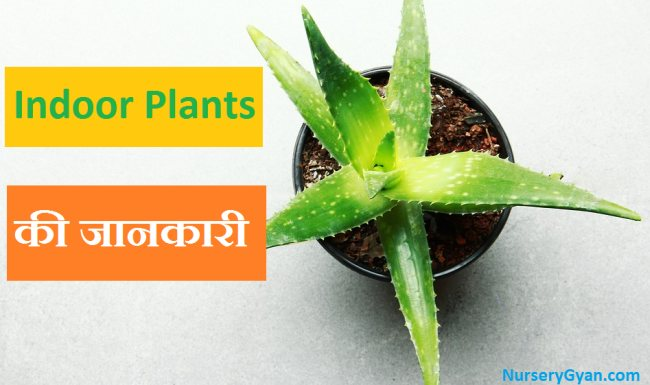 List of popular Indoor Plants in Hindi which purify air