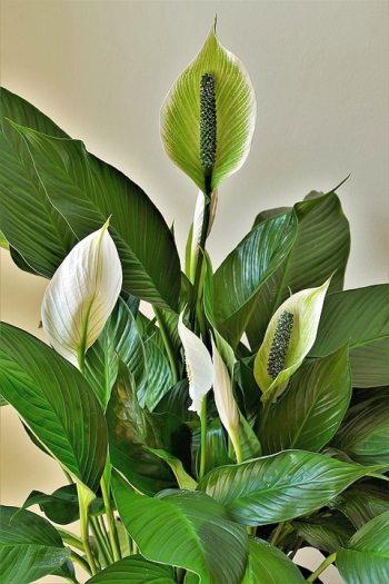 Peace Lily Plant inside house