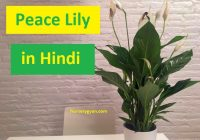 Peace lily information in Hindi