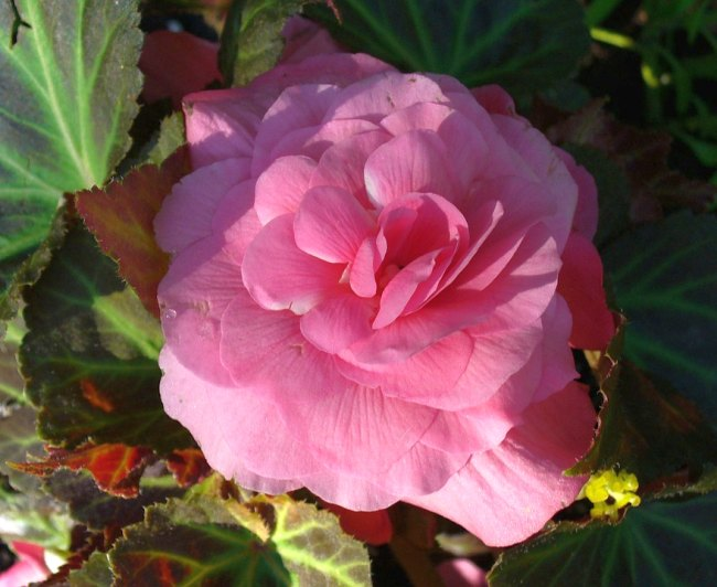 Pink color Begonia flower