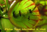 Pitcher Plant Information in Hindi >> Trap Insects