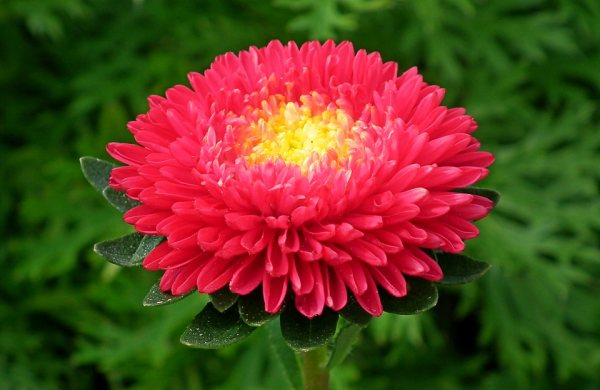 Red Aster flower