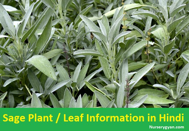 Safe Herlab Plant Information in Hindi
