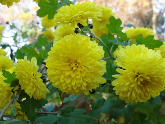 Yello Chrysanthemum flower