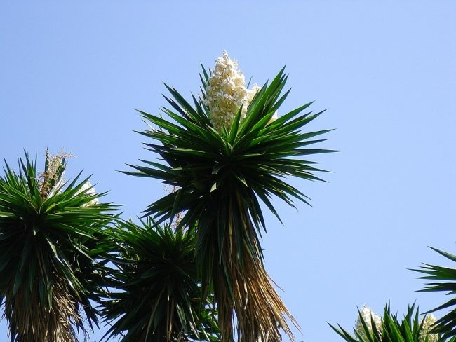 Yucca plant and its flower