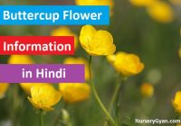 Buttercup flower information in Hindi