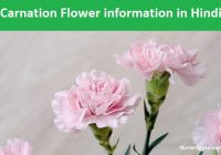 Carnation flower information in Hindi