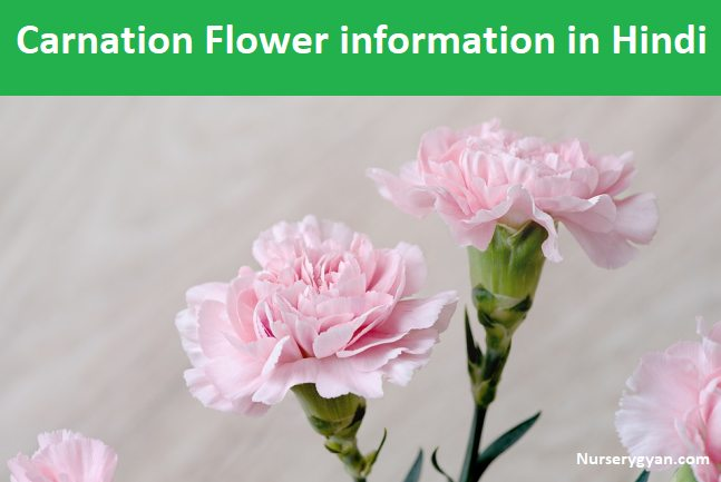 Carnation Flower In Hindi Best Flower Wallpaper