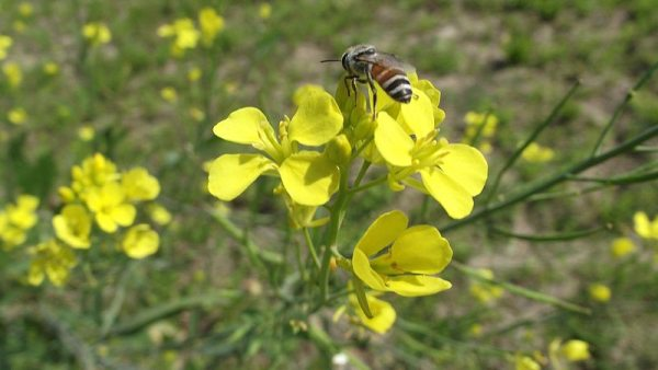 Honey bee sitting on mustard flower