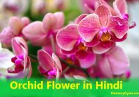 Orchid Flower in Hindi