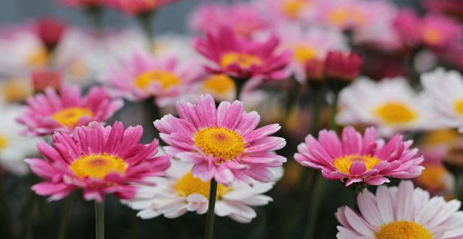 Pink Color Daisy Flower