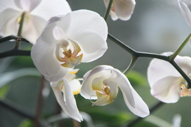 White color Orchid flower care information in Hindi