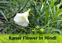 Kaner Flower information in Hindi