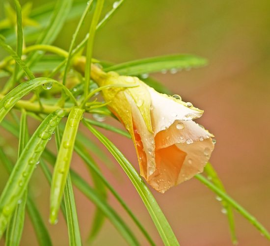 Yellow color Kaner flower with leaf