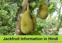 Jackfruit tree information in Hindi