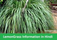 Lemongrass in Hindi
