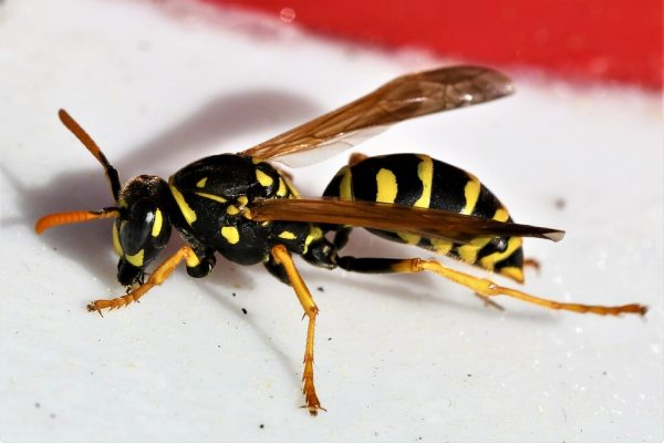 Wasp Insect varieties