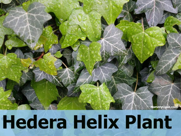 Hedera Helix Plant information in Hindi