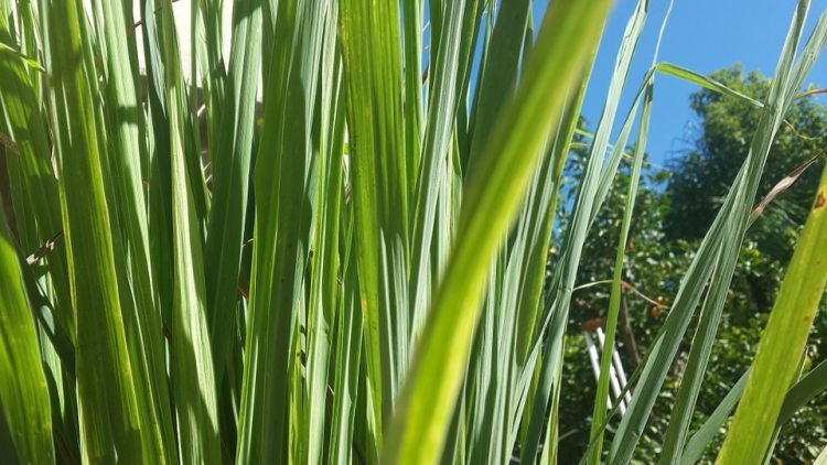 Varieties of Lemongrass