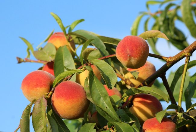 Varieties of Peach Fruit
