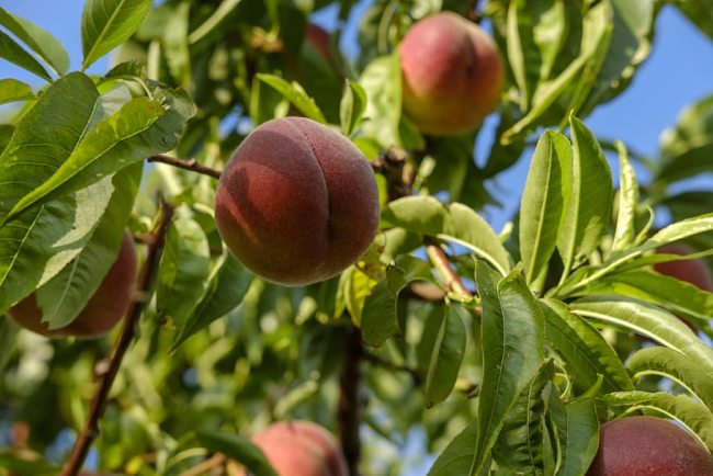 Peach Fruit Farming
