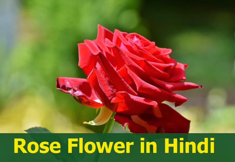 Rose Flower or Gulab ka phool