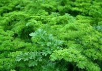 Parsley plant amjod