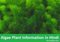 Algae plant information in Hindi